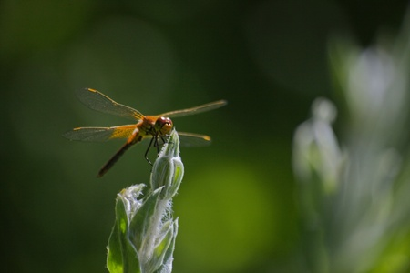 Brown dragonfly on a flower