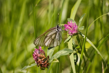Butterfly on clover in summer Banque d'images