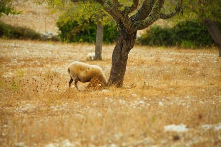 Sheep grazing in a field under a tree