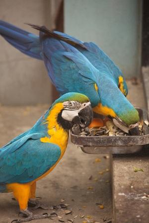 Big blue parrots near feeder Banque d'images