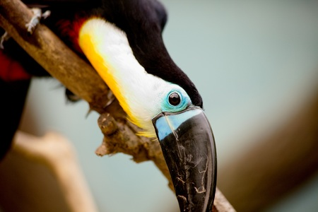 Black toucan with on a branch at the zoo of Shanghai