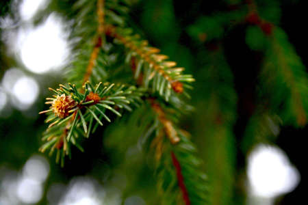 fir leaves photo
