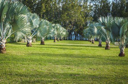 Blue Latan Palm trees on a grass field