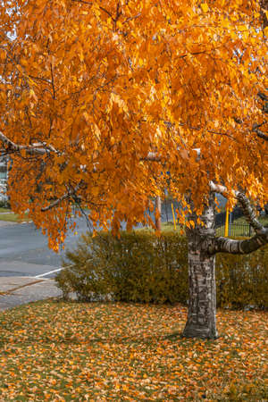 Tree with leaves turned golden in the November Fall season