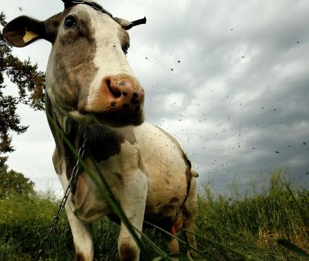flay: cow