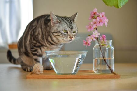 A cat that drinks water while worrying about cherry blossoms