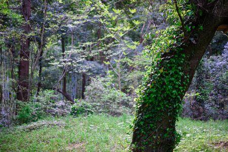 Trees of Bishamontendo, Japan
