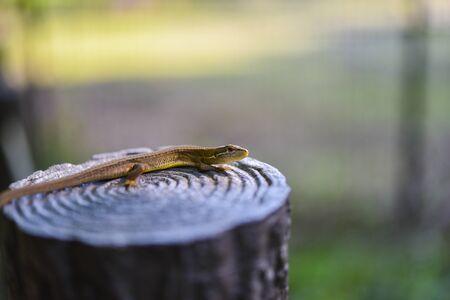 Lizard 写真素材 - 149530123