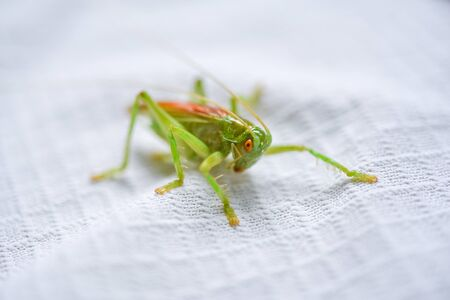 Long-horned grasshopper Banque d'images