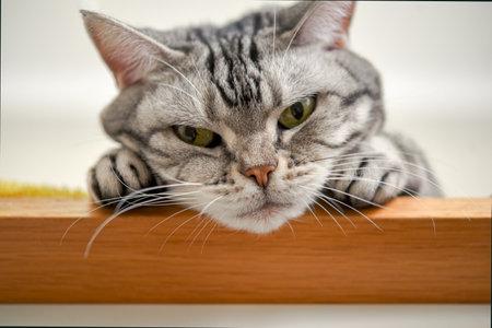 Cat peeping down from the top of the desk Foto de archivo