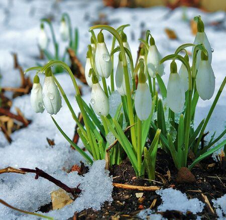 The first snowdrops in spring forest