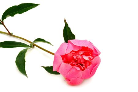 Pink peony flower on white background. isolated