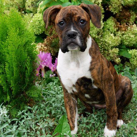 Portrait of a cute puppy purebred boxer in nature