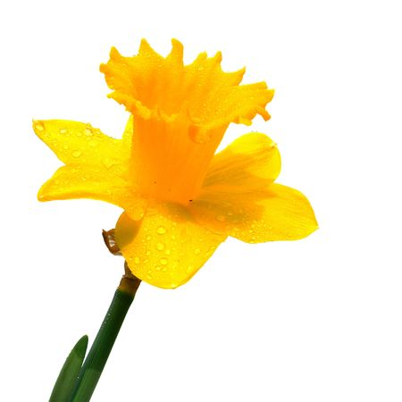 Yellow daffodil isolated on a white background                                 photo