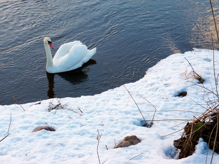 White swan swims on the river in winter  photo