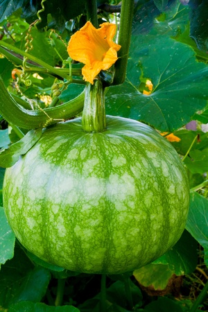 A large green pumpkin on a vegetable patch