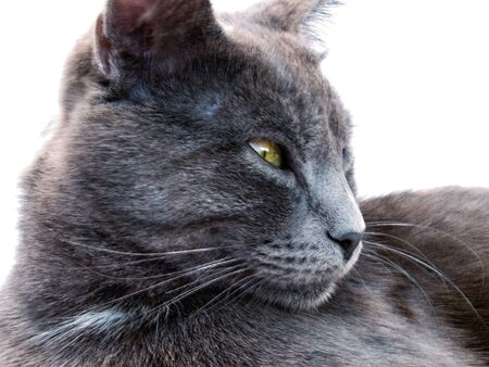 Russian blue cat isolated on a white background. Natural light and colors photo