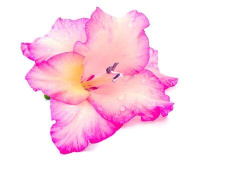 Pink gladiolus isolated on the white background photo