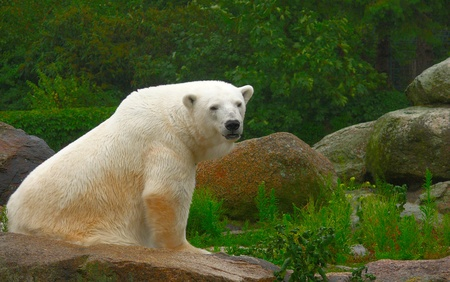 Polar bear resting on a rock at the zoo  photo