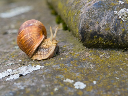 Helix pomatia was crawling on a stone wall photo