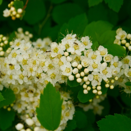Beautiful white spiraea (meadowsweet) flowers with a bug in spring