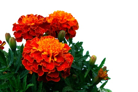 tagetes: Flower of tagetes isolated on the white