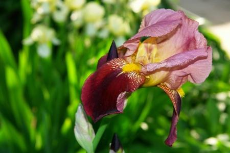 Flower Iris blossoms among a green grass                                Stock Photo