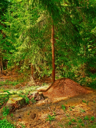 The big ant hill in coniferous wood                              photo