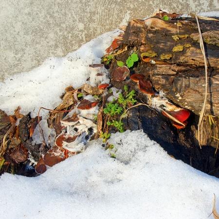 mycelium: The old stump with mushrooms  in winter          Stock Photo