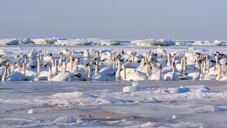 A flock of swans in the winter on the Baltic Sea  photo