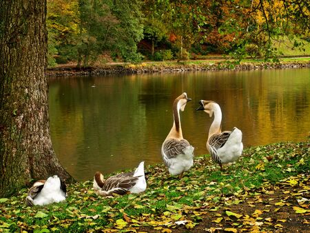 Four wild goose resting on the lake photo
