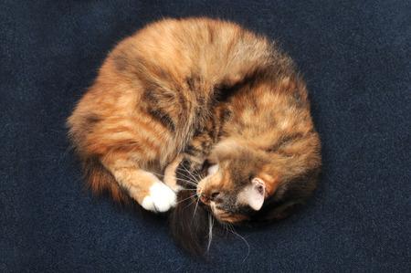 calico cat: calico cat sleeping on carpet Stock Photo