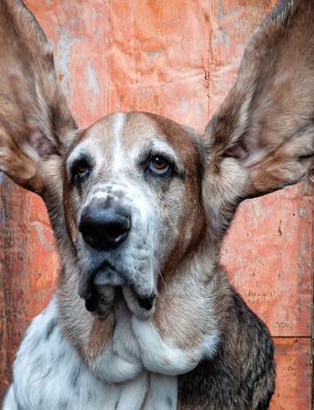 Bassett Hound dog is all ears! photo