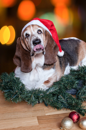Basset Hound gets into the festive spirit! photo