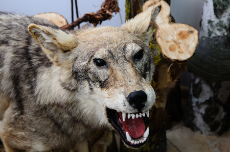 Stuffed wolf is in the Museum of the national Park Curonian spit in the Kaliningrad region, Russia. Editorial