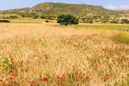 an agricultural district: Agricultural field with poppies, Milos island, Cyclades, Greece.