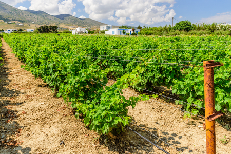 Greece: Grape field on the Greek island of Paros, Cyclades, Greece. Stock Photo