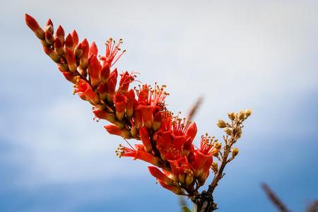 ocotillo: This lovely ocotillo Fouquieria splendens bloom was captured at the Arizona-Sonora Desert Museum in Tucson, AZ.
