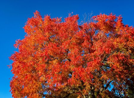jose: Colorful autumn leaves against a blue sky in San Jose, CA. Stock Photo