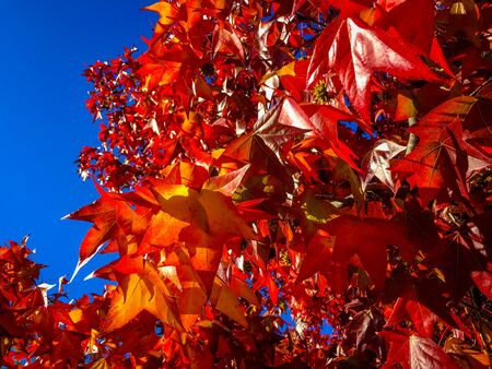 san jose: Autumn leaves are aglow in the afternoon sun  in San Jose, CA.