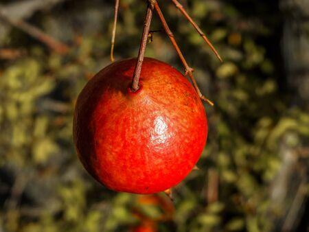 punica granatum: A pomegranate (Punica granatum) in the afternoon sun with a blurred background in San Jose, California.