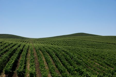 Rolling Hills of Vineyards photo