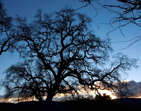 Oak tree as the sun is setting. Napa Valley California