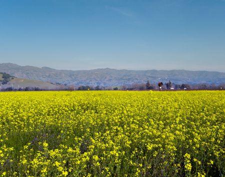 Field of mustard located in Napa Valley California