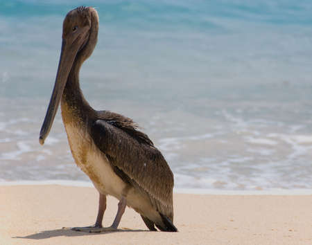 Brown pelican on the beach with ocean in the background Stock Photo