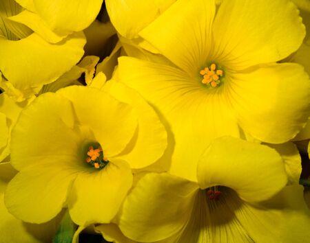 oxalis: Yellow Oxalis flowers