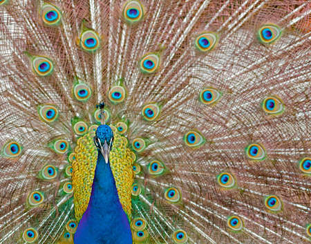 Male peacock displaying his feathers. Stock Photo - 2920371