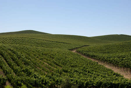 Rolling Hills of Vineyards Stock Photo