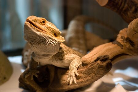 Bearded dragon looking at the camera