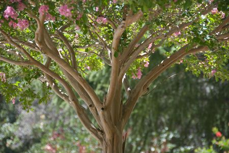 crepe: Pink Crape Myrtle Stock Photo